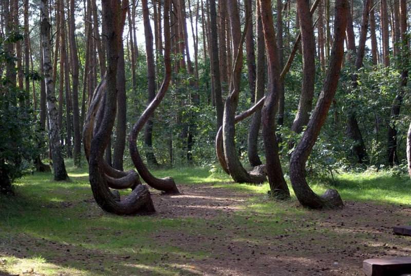 Foresta storta di Gryfino, Polonia