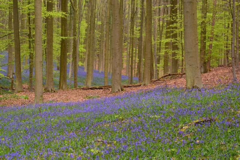 Foresta di Hallerbos, Belgio