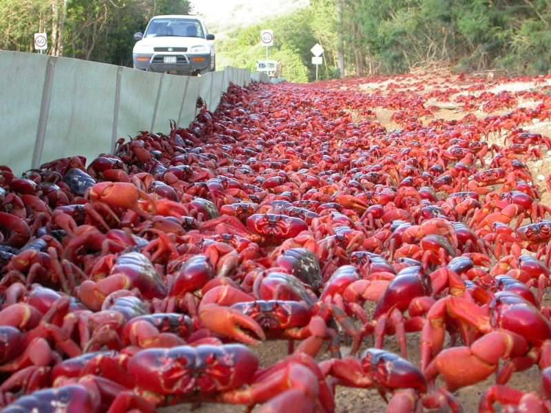 Migrazione dei granchi rossi
