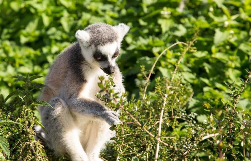 5 madagascar lemure