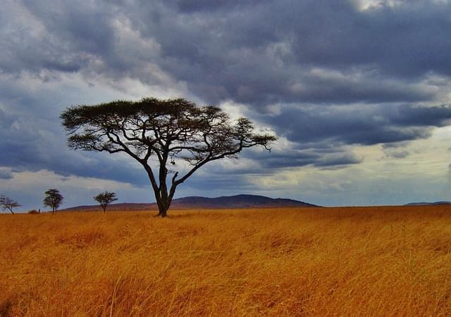 acacia albero safari serengeti