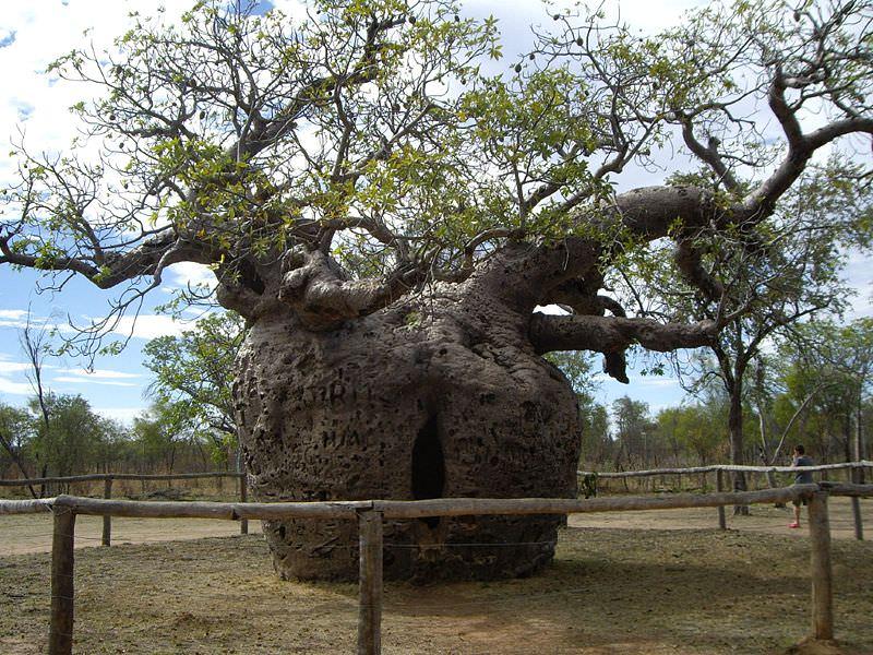 4 boab prison tree