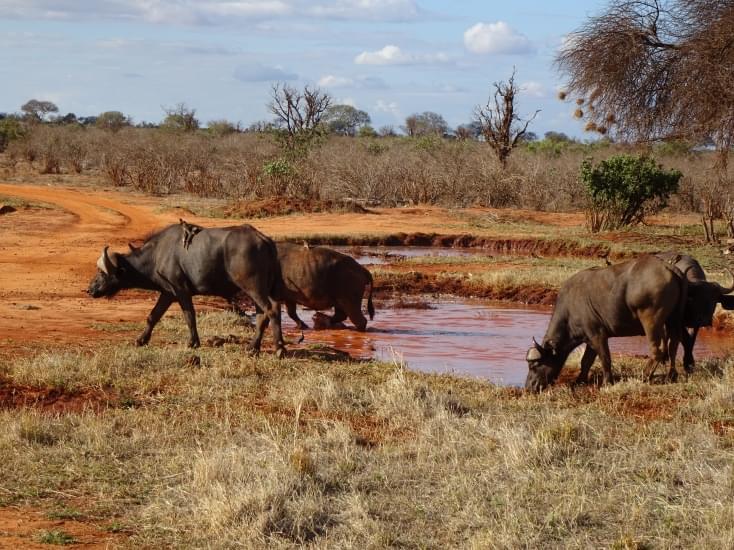 bufali tsavo national park