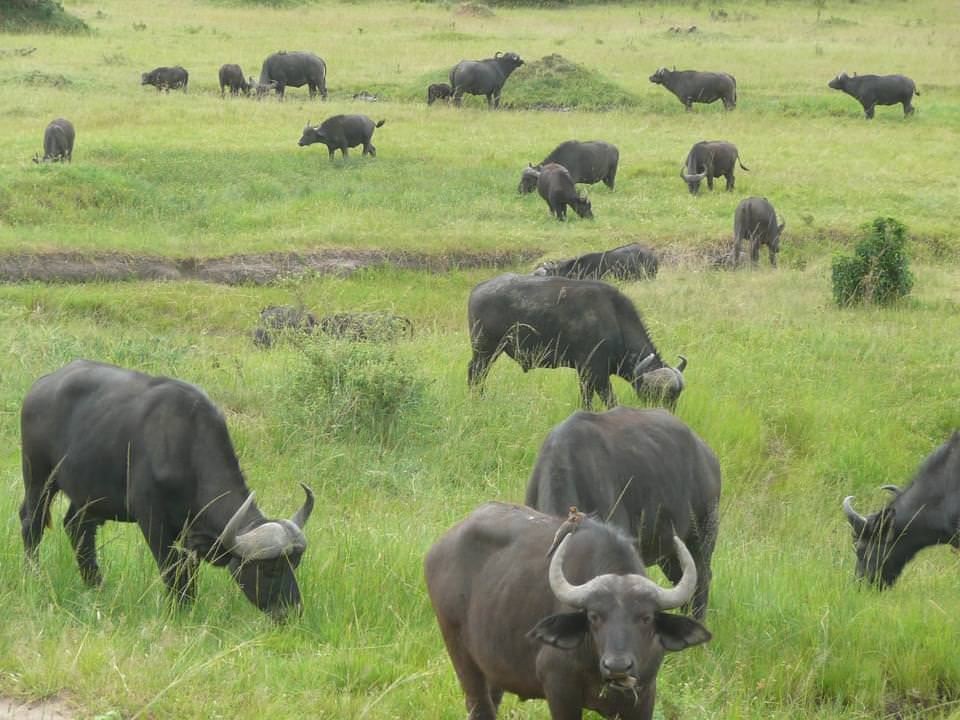 bufalo masai mara kenya
