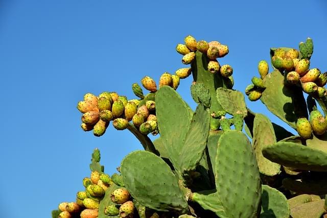 cactus in sicilia