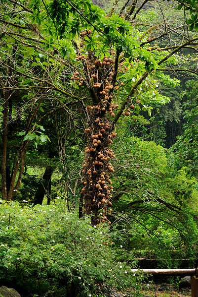 7 cannonball tree