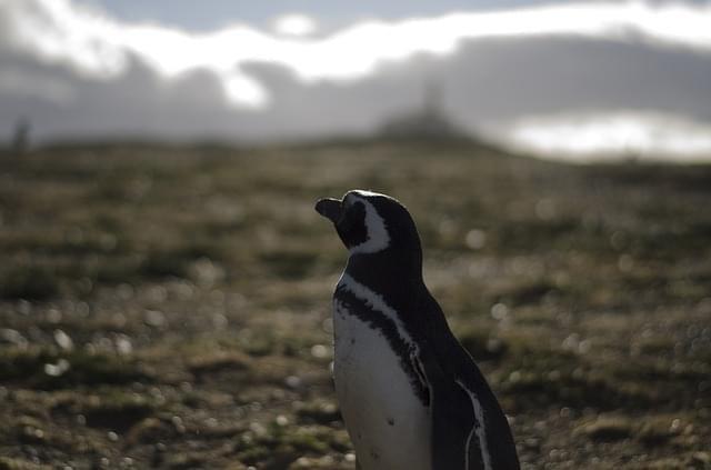 cile pinguini