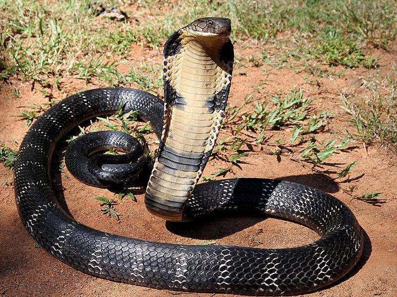 Villaggio dei cobra