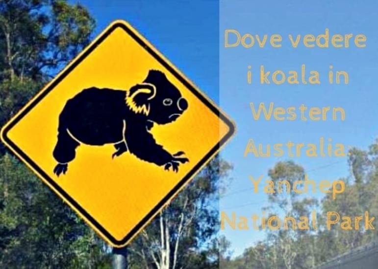 Copertina articolo dove vedere i koala in western australia yanchep national park 2
