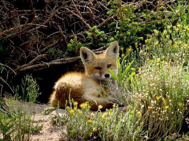 cucciolo di volpe