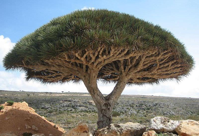 6 dragon blood trees