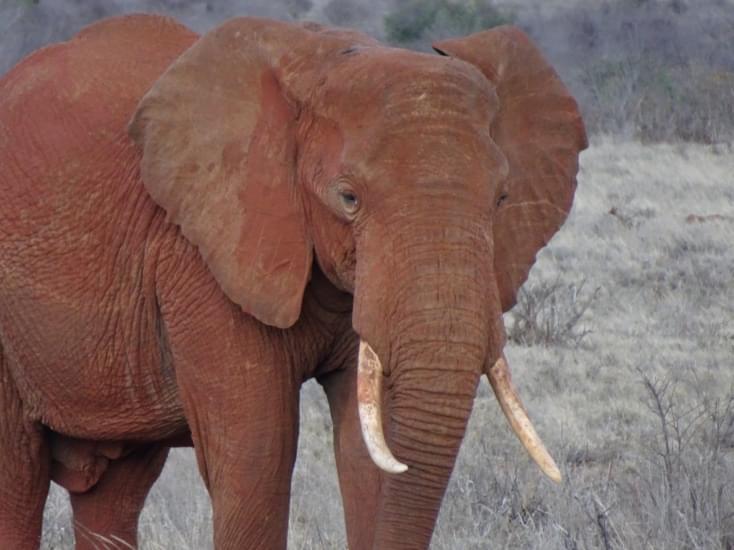 elefante tsavo national park