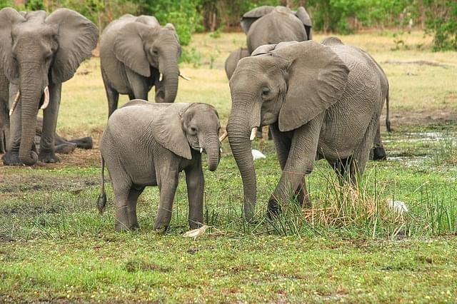 elefanti nella savana