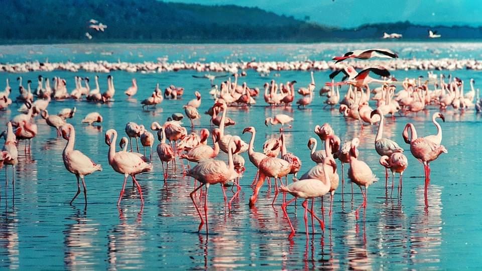 fenicotteri rosa lagor turkana kenya
