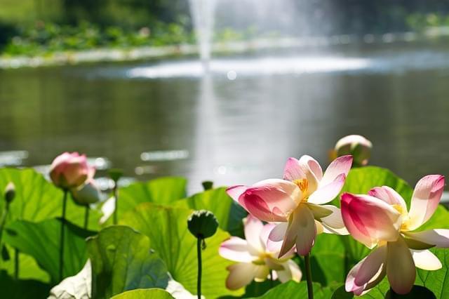 giardino sogni fiori loto nepal kathmandu