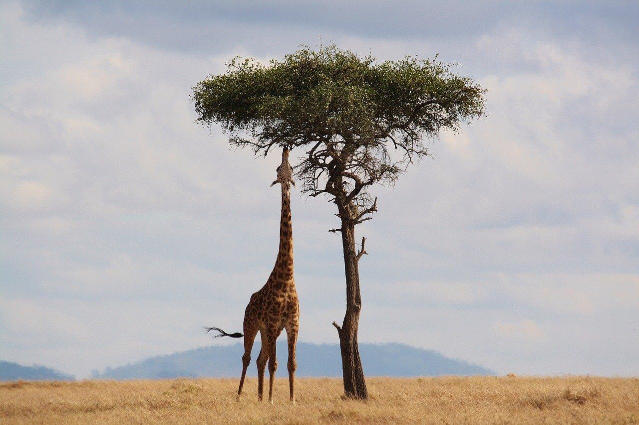 Africa Savana