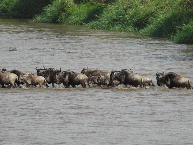 gnu serengeti tanzania