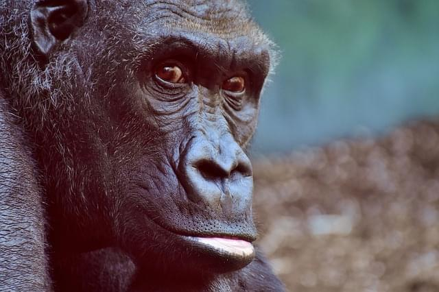 gorilla zoo 4