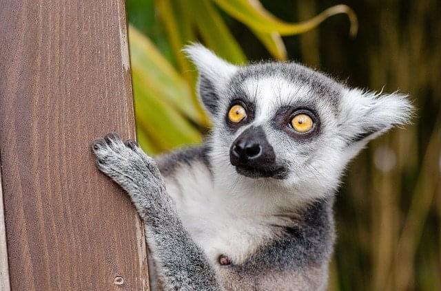 lemure del madagascar