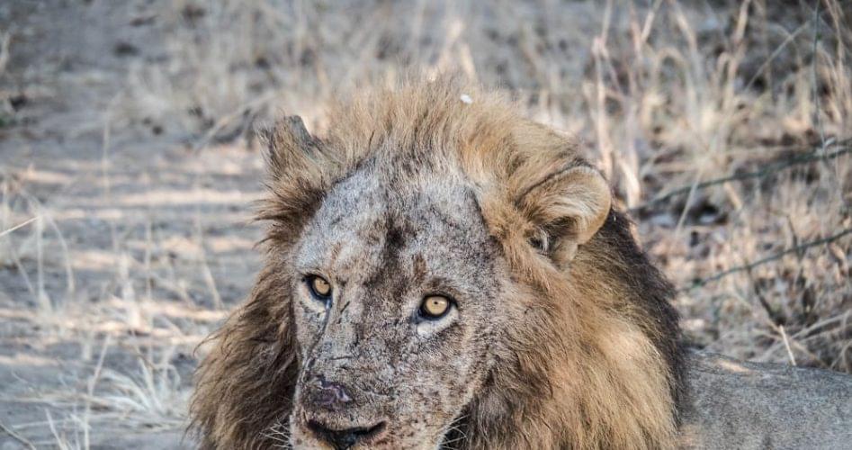 Leone safari south luangwa zambia 947x500