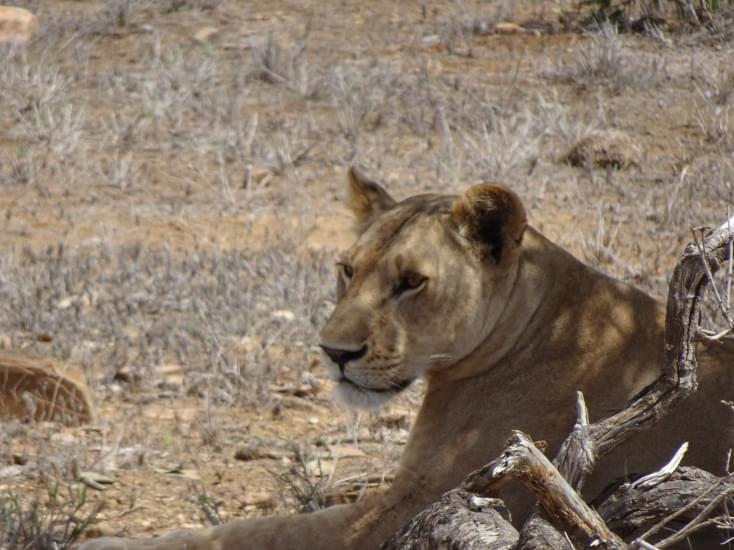 leonessa tsavo national park