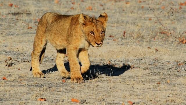 leoni in sudafrica