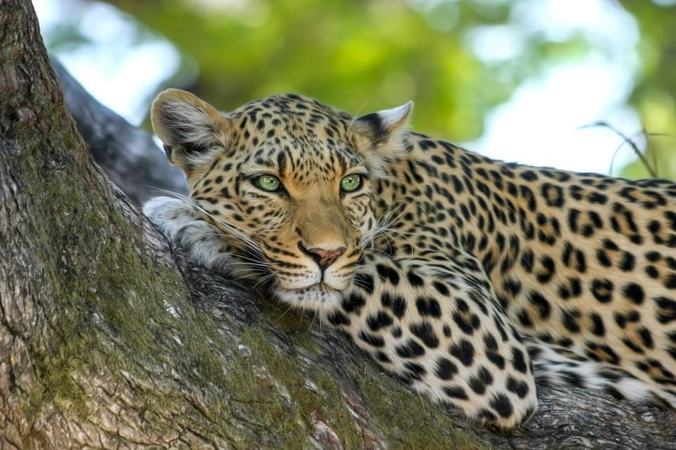 leopard 515509_960_720