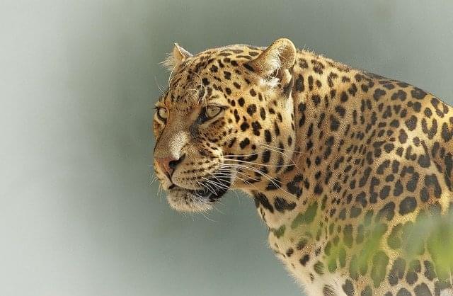 leopardo parco nazionale serengeti