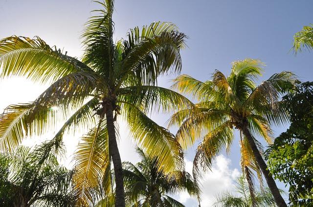 madagascar palme