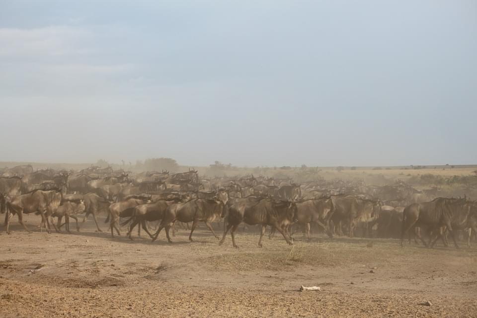 migrazione degli gnu masai mara kenya