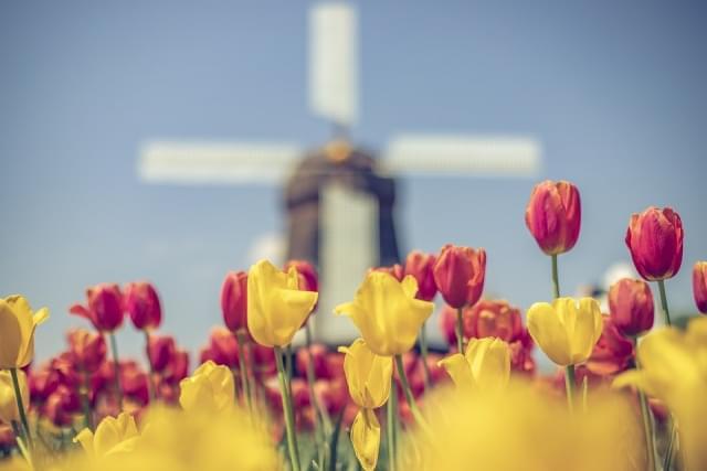 olanda mulino a vento tulipani