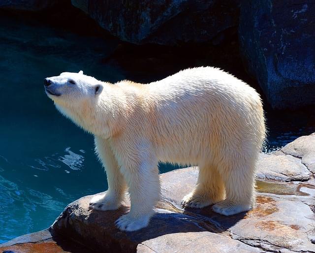 orso polare zoo 7