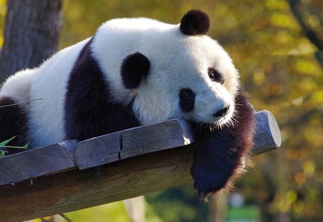 panda gigante zoo 9