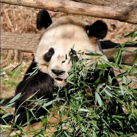 panda national zoo