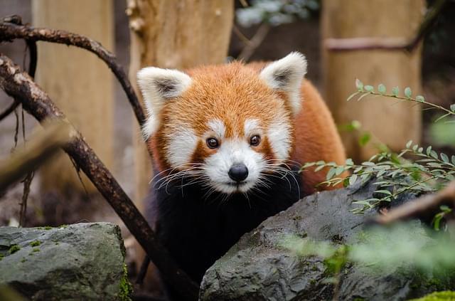 panda rosso zoo 8