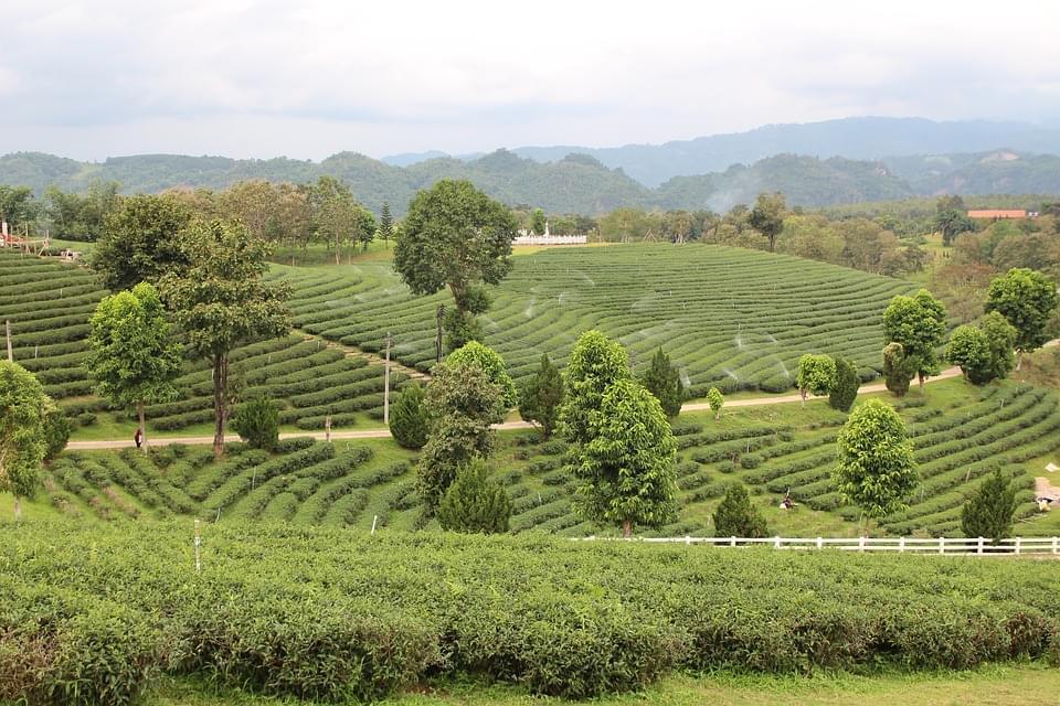 piantagioni di the chiang rai