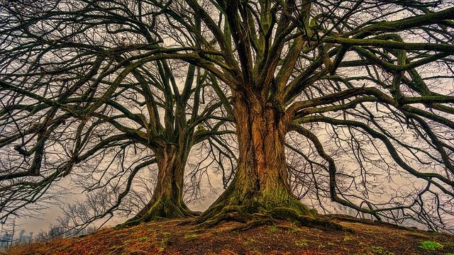 pinus longaeva albero