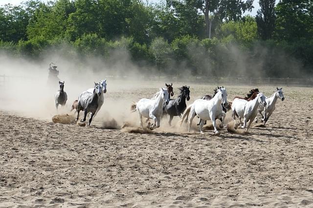 puszta cavalli
