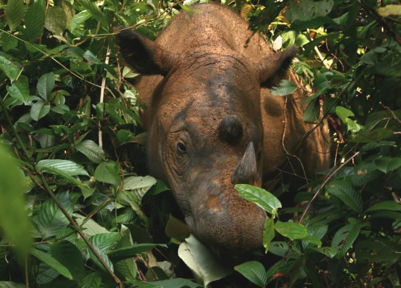 Rinoceronte di Giava