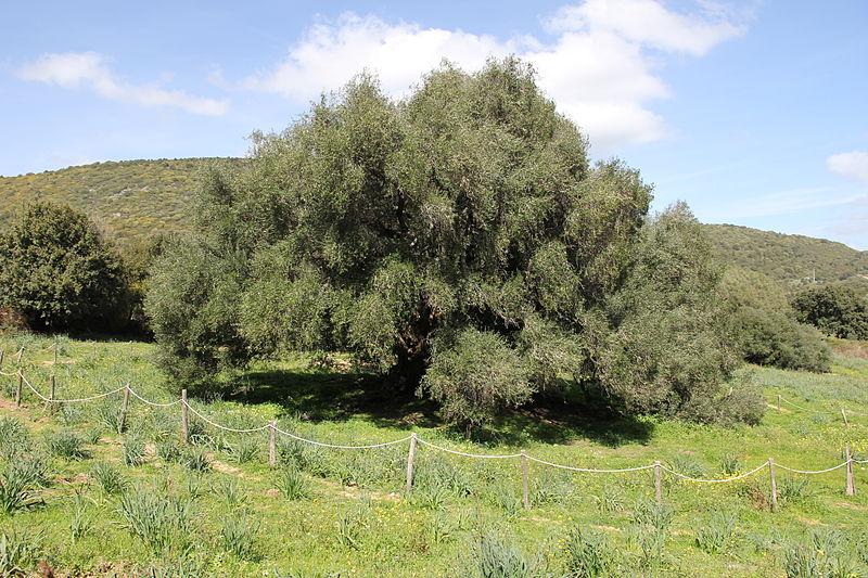 olivo vecchio sardegna