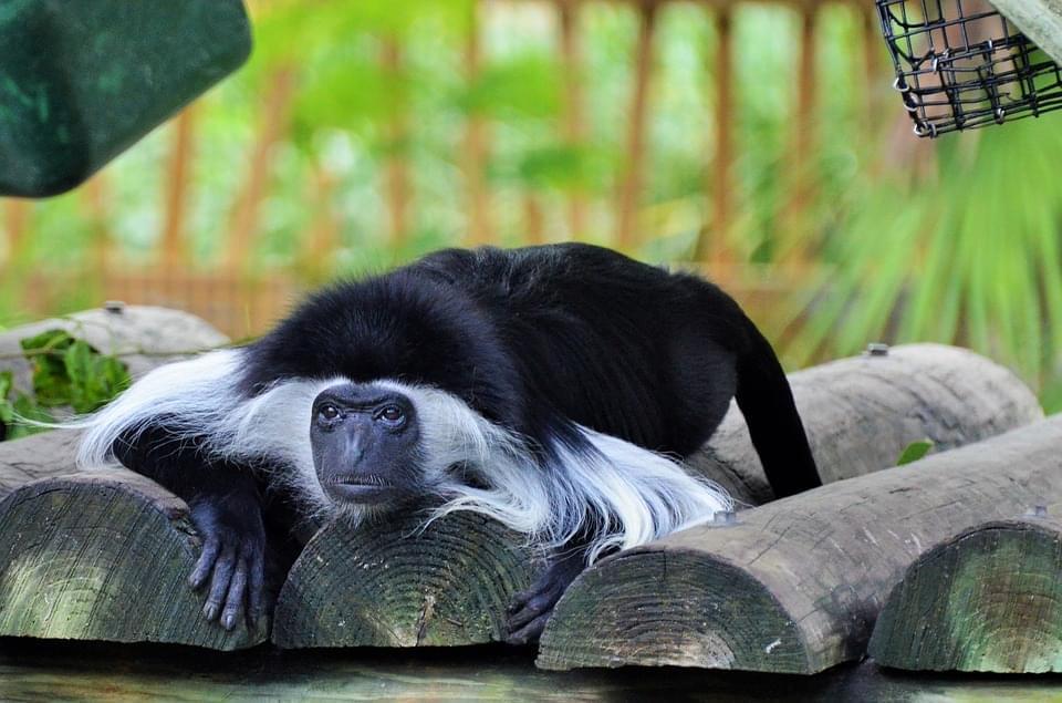 scimmia colubus etiopia