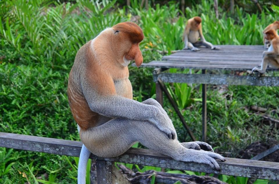 scimmia proboscide borneo