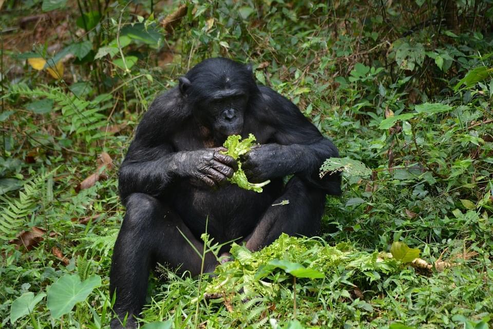scimpanze congo africa