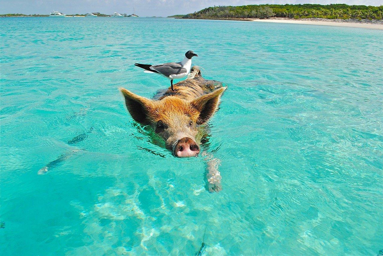 Major Cay, Pig Island, Bahamas