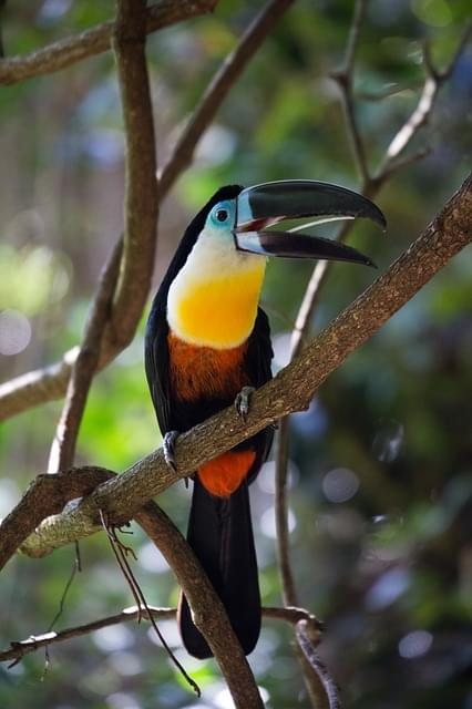 tucano uccello tropicale