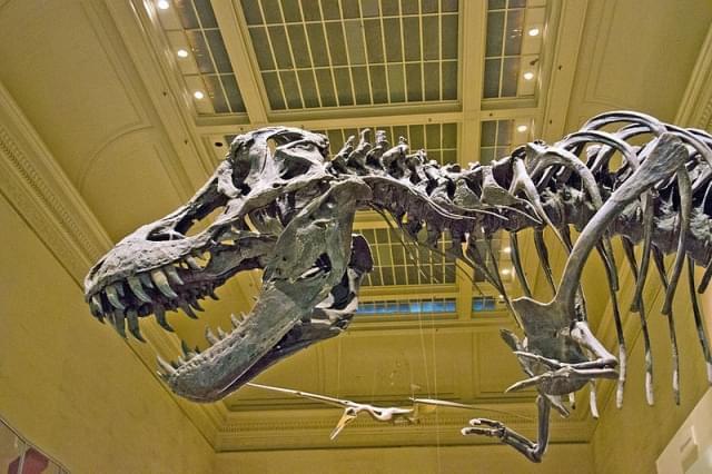 tyrannosaurus rex scheletro