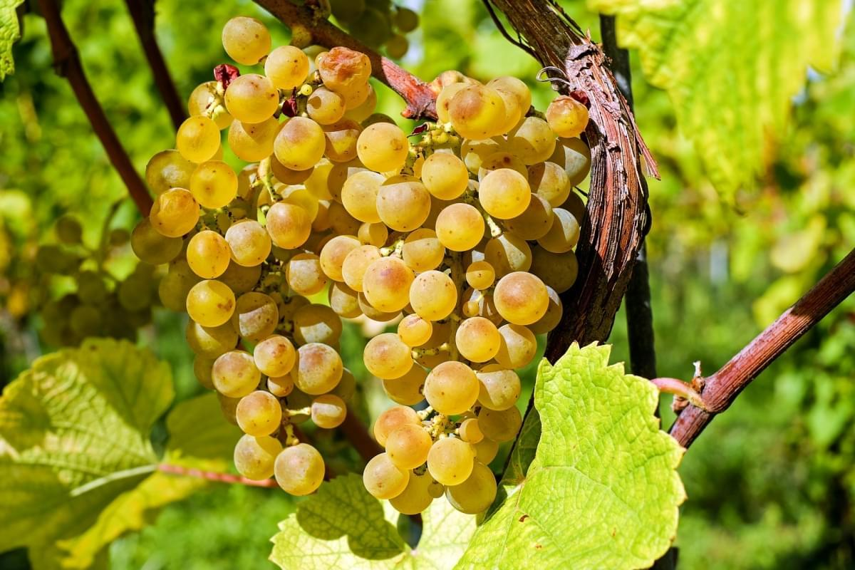 vino bianco svizzera