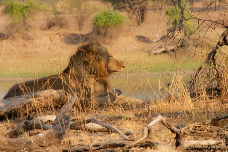 Volontariato leone
