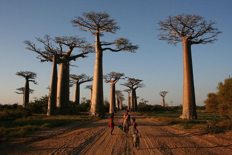 Route nationale 8: la Baobab Avenue