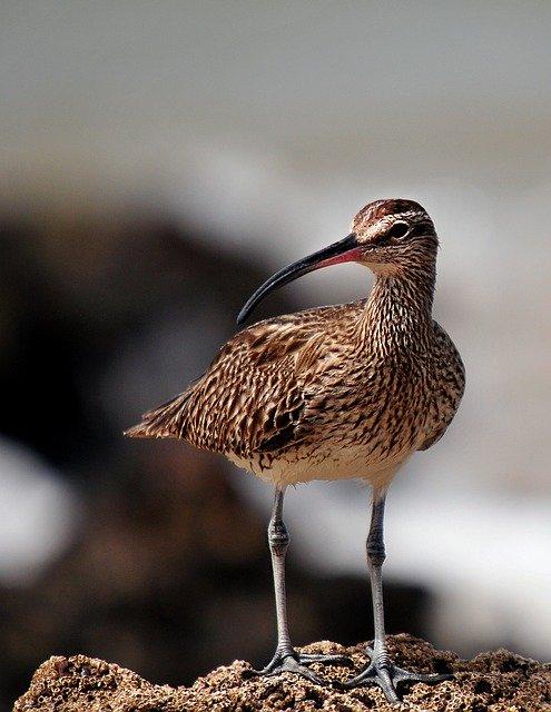 whimbrel uccelli senegal fauna